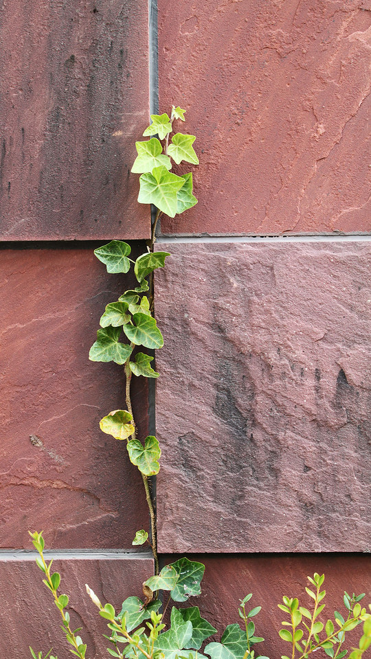 Ivy is climbing the wall