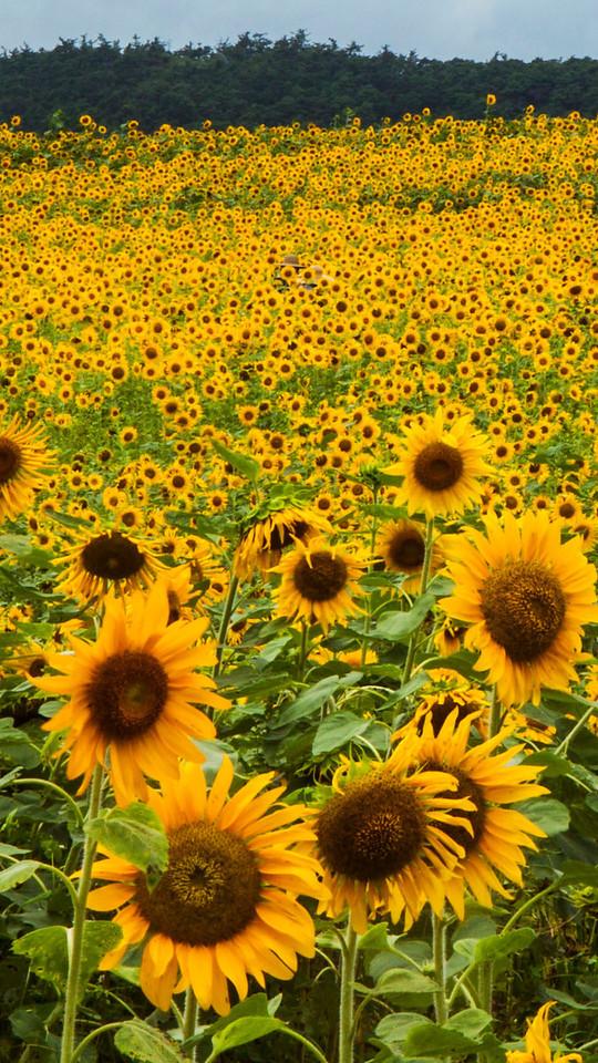 Sunflower fields in Gochang, Korea