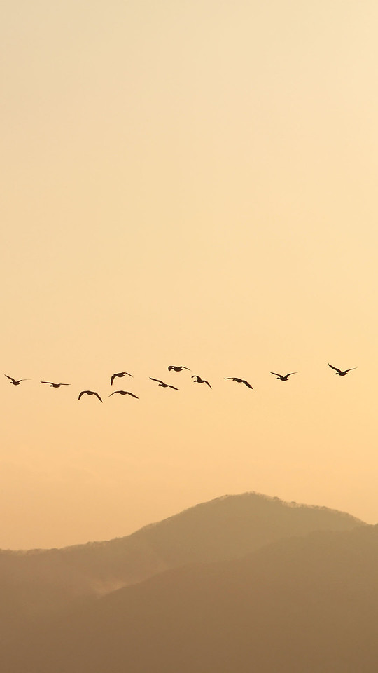 Wild geese flying away